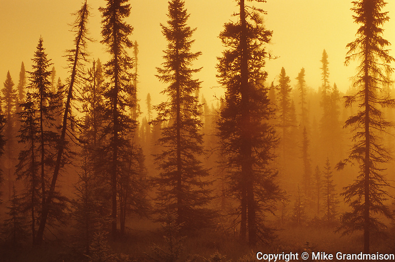 Black spruce trees (Picea mariana) in spruce bog at sunrise<br /> Near Upsala<br /> Ontario<br /> Canada