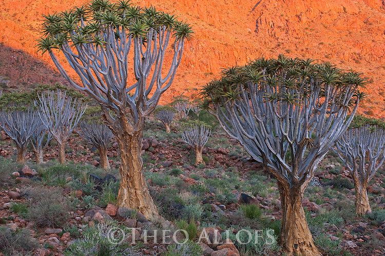 Namibia, Namib Desert, Namibrand Nature Reserve, quiver trees (Aloe dichotoma) in mountains at sunset