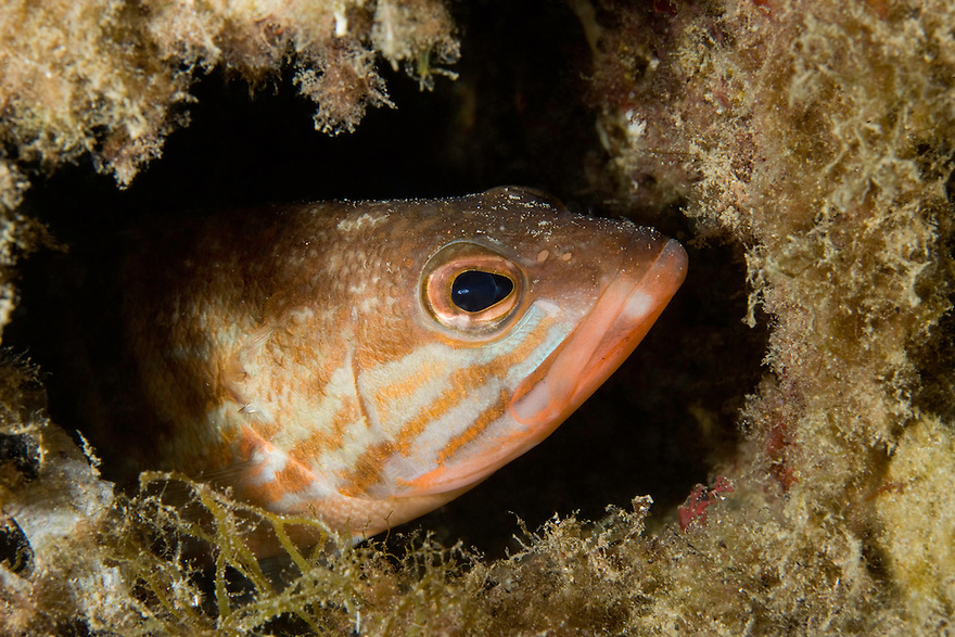 Comber (Serranus cabrilla) watching out from its den, Larvotto Marine Reserve, Monaco, Mediterranean Sea<br /> Mission: Larvotto marine Reserve