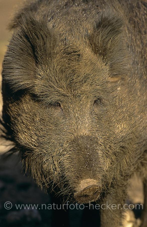 Wildschwein, Wild-Schwein, Schwarzwild, Schwarz-Wild, Portrait, Schwein, Sus scrofa, wild boar, pig