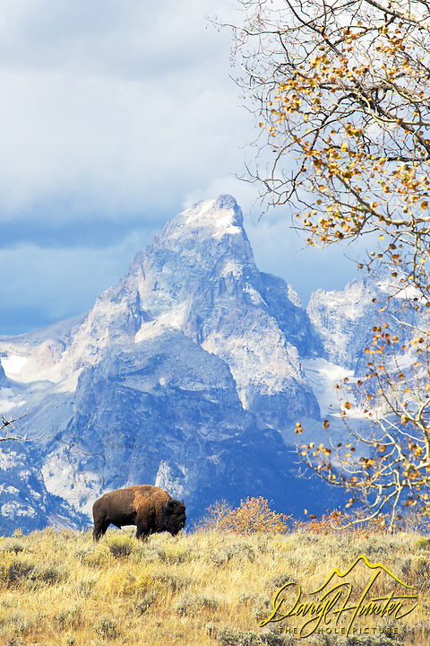 Bison, autumn color, Grand Tetons, Jackson Hole, Wyoming