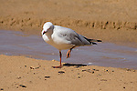 SIlver Gull with fishing line around leg, Redcliffe Queensland.   //   Silver Gull - Laridae: Chroicocephalus (=Larus) novaehollandiae). Length to 45cm, wingspan to 95cm, weight to 315g. This bird has a fishing line wrapped around its left leg, strangling the foot. This will eventually drop off and the bird will be unable to maintain itself. Found around the coast of Australia, mainly in the southern half. Also in New Caledonia, and vagrants to Indonesia, Papua New Guinea and Vanuatu. May irrupt into inland areas when rains have resulted in abundant food supplies in temporary waters. Opportunistic breeder depending on climate, but regular where it is a more sedentary species.  A scavenger that often harries other seabirds and steals their food. Becoming a pest around rubbish (garbage) dumps near many larger cities and towns. Adults have bright red soft parts, immatures have dark brownish-black. Juvenile birds have much brown in their plumage, especially on the wing-coverts.   IUCN Status:  Least concern.  //