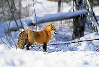 Red Fox in Snow #2