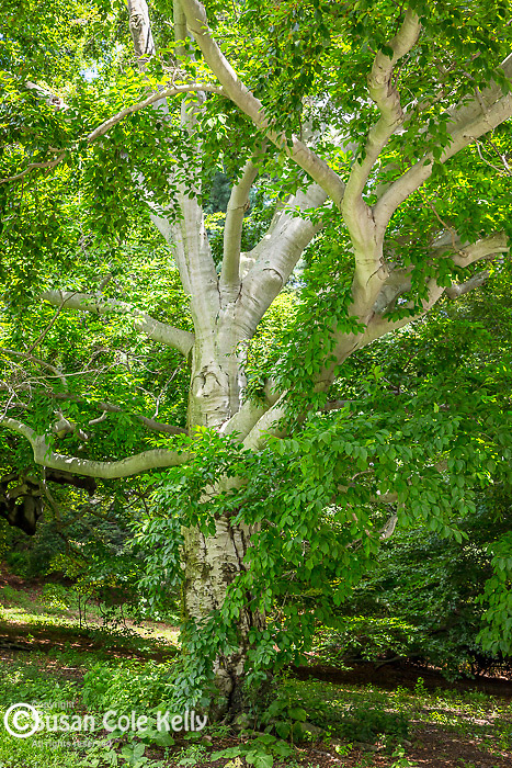 European Beech trees at the Arnold Arboretum in the Jamaica Plain neighborhood, Boston, Massachusetts, USA