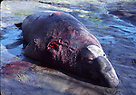 Teeth marks on bull elephant seal