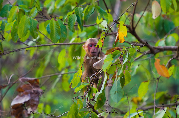 Stump-tailed Macaques (Macaca arctoides) are found in subtropical and tropical broadleaf evergreen forests. They spend the early morning traveling and feeding, and spend more time on the ground than in trees. Phetchaburi, Thailand.