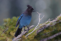 Adult Steller's Jay (Cyanocitta stelleri) calling. Pierce County, Washington. May.