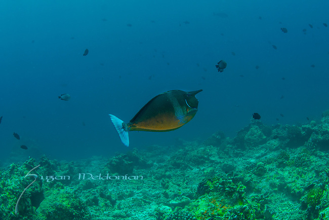 Unicornfish, Naso is a genus of fish in the surgeonfish family, Acanthuridae