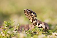 Western Cottonmouth (Agkistrodon piscivorus leucostoma), adult, Welder Wildlife Refuge, Sinton, Texas, USA