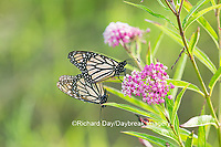 03536-05514 Monarch Butterflies (Danus plexippus) male and female mating on Swamp Milkweed (Asclepias incarnata), Marion Co.,  IL