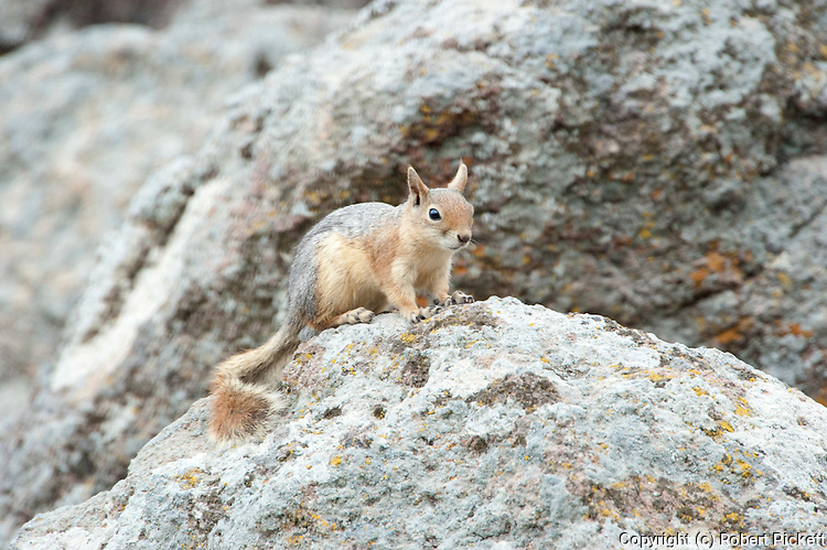 Persian Squirrel, Sciunus anomalus, Lesvos Island, Greece, endemic, IUCN Red List of Threatened Species , lesbos