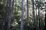 Coast redwoods at Butano State Park