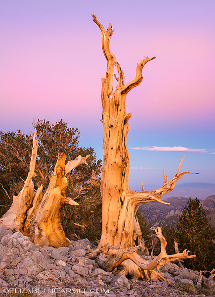 Bristlecone Sunset