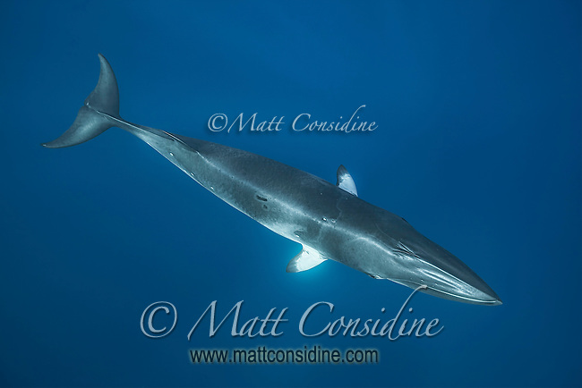 A sleek perfect form created by over millions of years by evolution. (Photo by Wildlife Photographer Matt Considine)