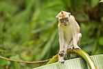 Long-tailed Macaque (Macaca fascicularis) juvenile, Tawau Hills Park, Sabah, Borneo, Malaysia