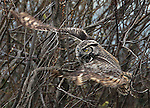 Great Horned Owl spotted flying from one tree to the next in the Delta near Stockton, California.