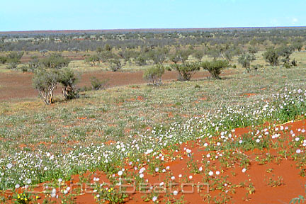 Dune tops covered in ephemeral flowering plants after rain. Dune troughs have Mulga trees. Simpson Desert, NT/ Queensland