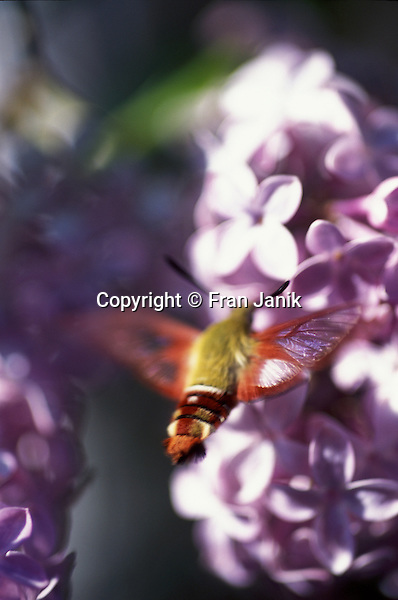 A small and quick insect, the colorfull humminbird moth ignores the camera and feeds on lilac bushes in Jamaica Vermont.