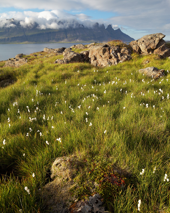 Wildflower meadow and view across Breiðdalsvík Cove to alpine peaks, East Iceland, Iceland
