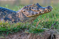 Yacaré Caiman (Caiman yacare) eyes a boat full of photographers, The Pantanal, Brazil.