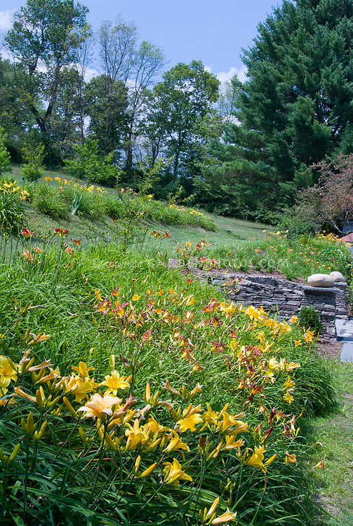 Hemerocallis daylily garden in mass plantings in summer near house on slope hill, drfits of plants