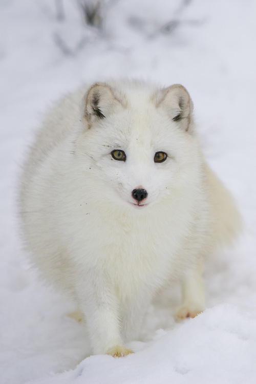 Arctic fox standing on a snowy hill - CA