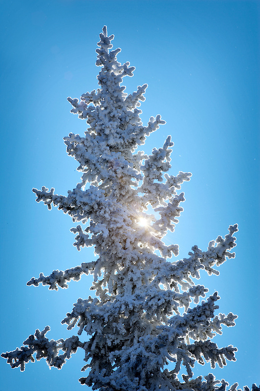 Hoar frost on tree near Anthony Lakes. Oregon