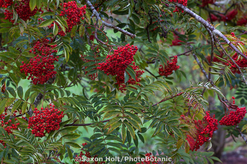 Red berries on Sorbus commixta, the Japanese Rowan in Hoyt Arboretum