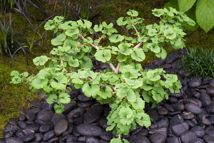 ginkgo biloba 39 troll 39 plant flower stock photography. Black Bedroom Furniture Sets. Home Design Ideas
