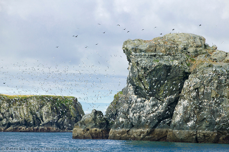 Porpoise Rocks, Port Etches, Hinchenbrook Island, Prince William Sound, Alaska: Best all-round seabird colony in inner Sound. Puffins, kittiwakes, gulls and thousands of murres