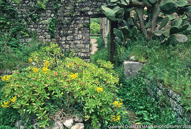 Euphorbia and cactus embellish the rugged stone walls of an abandonded building in the Italian garden of Ninfa, south of Rome