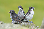 Least Auklets (Aethia psittacula), three perched on rock, St. Paul Island, Pribilofs, Alaska, USA
