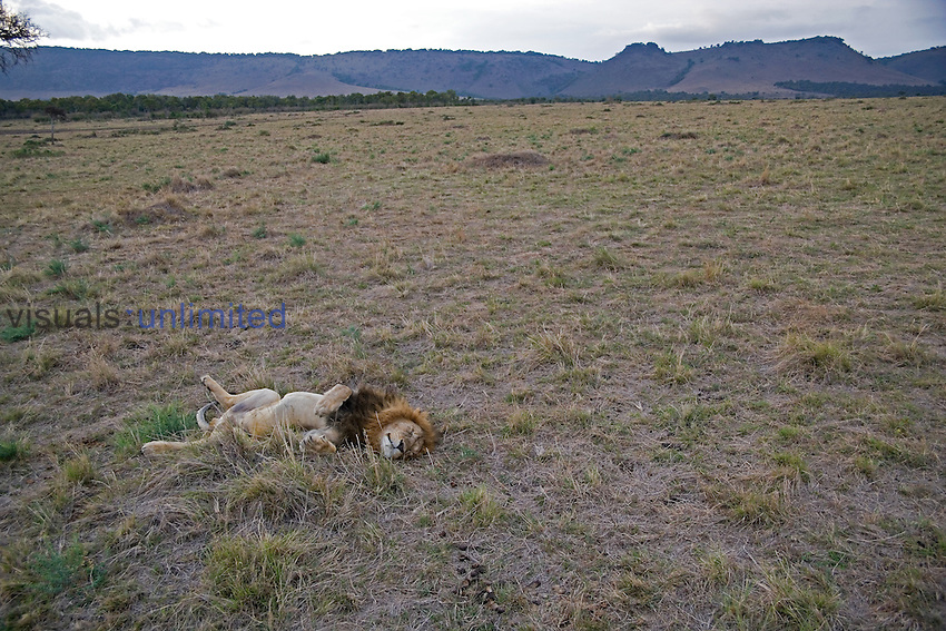 Lion male, Panthera leo, Masai Mara, Kenya, East-Africa.