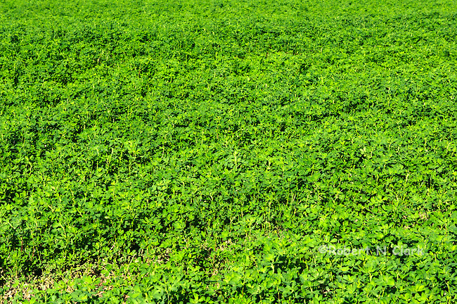 Alfalfa field in the Imperial Valley, CA