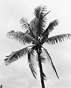 Coconut Tree in Tamarin in Mauritius.
