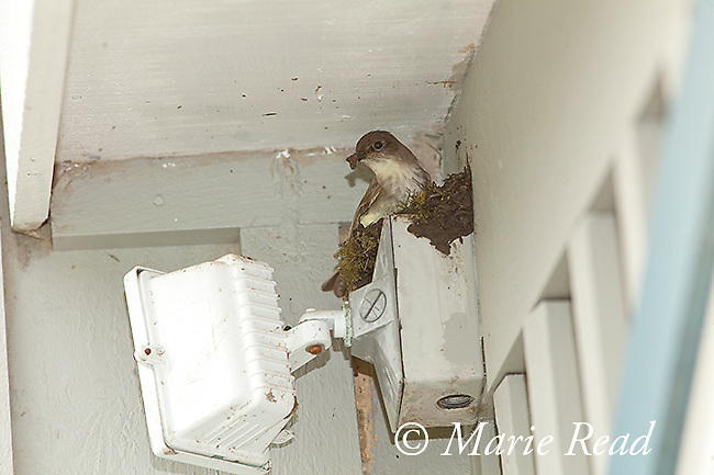 Eastern Phoebe (Sayornis phoebe), with a beakful of mud, building nest on light fixture on the wall of a house, New York, USA.