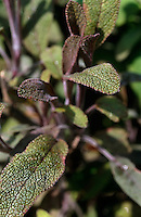 Purple sage, Salvia officinalis 'Purpurascens'