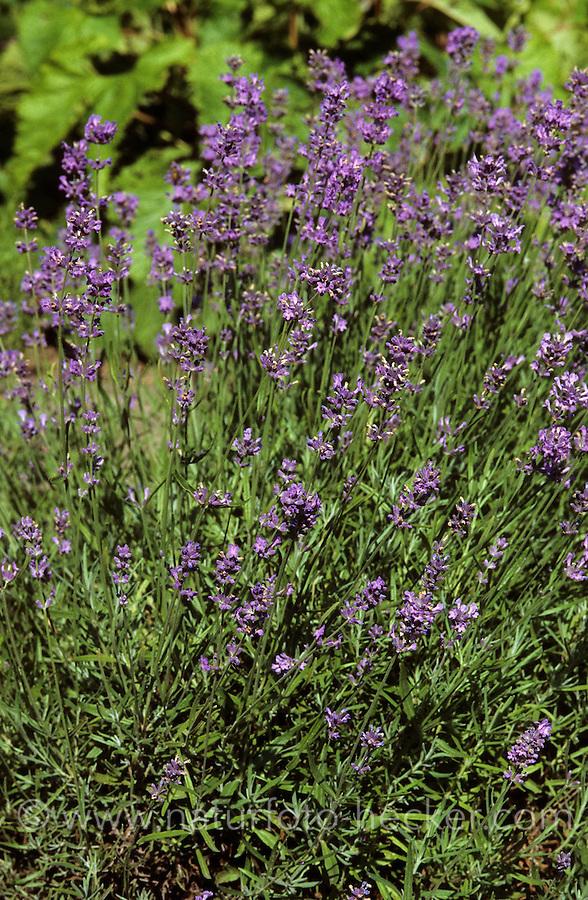 Echter Lavendel, Lavandula angustifolia, English Lavender