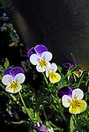 Flores. Amor-perfeito ( Viola x tricolor ). UK. Foto de Manuel Lourenço.