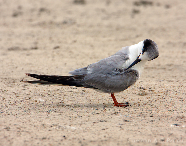 First-year Forster's tern