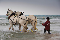 France, Pas-de-Calais (62), Cote d'Opale, Wissant, chevaux boulonnais sur la plage   // France, Pas de Calais, Cote d'Opale, Wissant, boulonnais horses on the beach