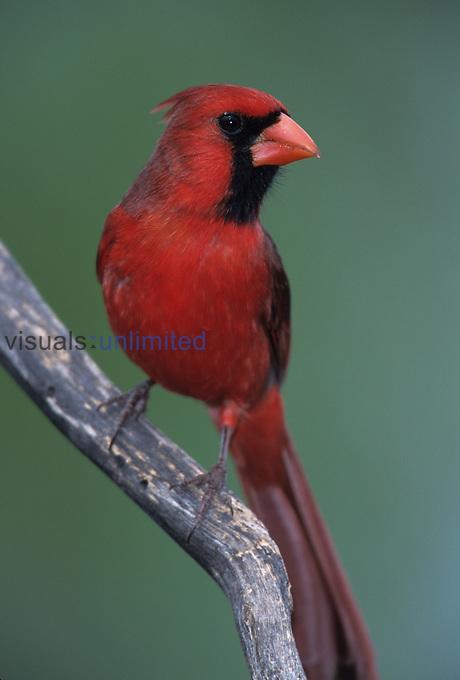 Male Northern Cardinal (Cardinalis cardinalis), eastern USA