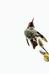 Anna's hummingbird, Fern Hill Wetlands, Oregon