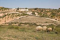 Near Tarhouna, Libya - Countryside, Sheep, Olive Trees, Rural Houses