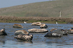 Harbor seals and avocets at Elkhorn Slough