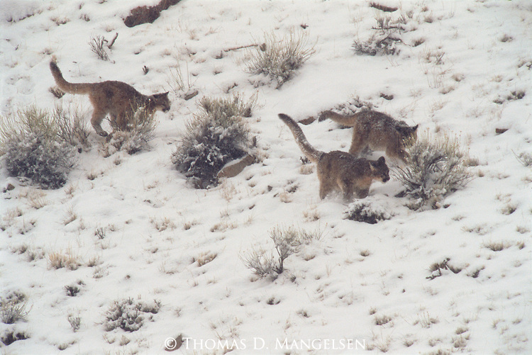 Three Mountain lion cubs running on the National Elk Refuge.