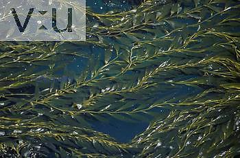 Giant Bladder Kelp ,Macrocystis pyrifera, Point Lobos, California