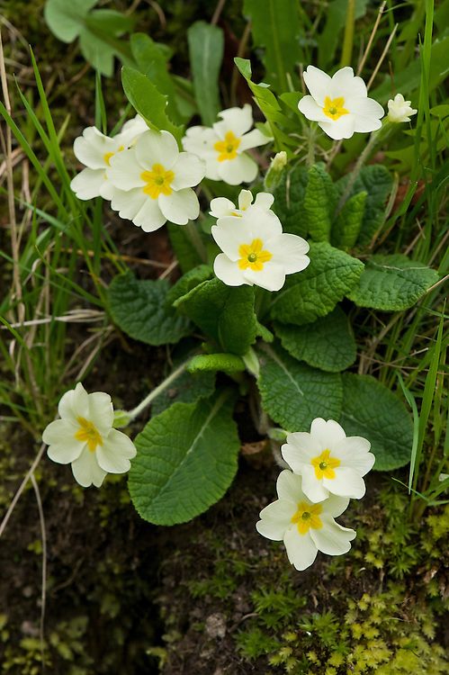 Wild primrose (Primula vulgaris), mid April.