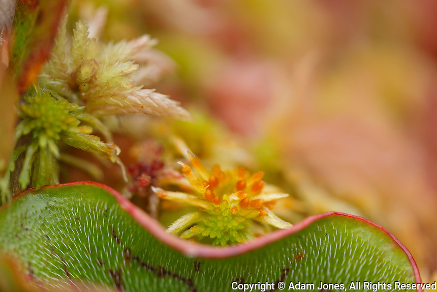 Northern Pitcher Plant, Sarracenia purpurea, in Sphagnum moss, Hiawatha National Forest, Upper Peninsula of Michigan.