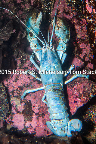 American lobster blue color phase, vertical.  Blue lobsters only occur once every 2 million lobsters.